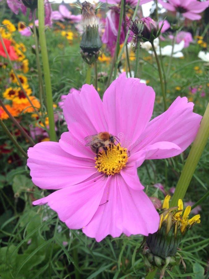 Bij op Lavendel Nr 2 royalty-vrije stock afbeelding