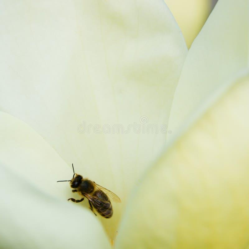 Bij op magnolia stock foto