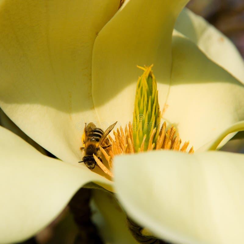 Bij op magnolia stock afbeelding