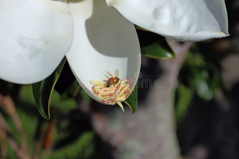 Bij op magnoliabloesem stock afbeeldingen
