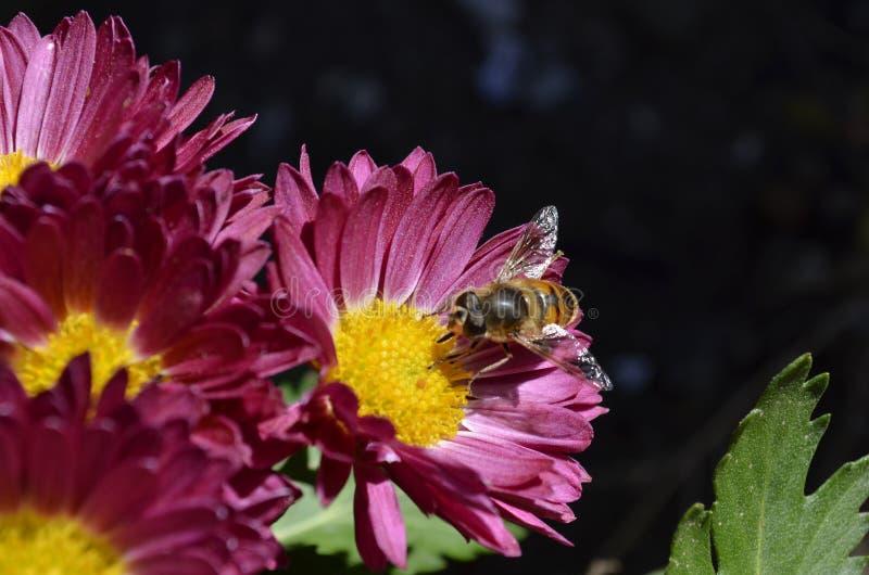 Bij op purpere bloem royalty-vrije stock foto's