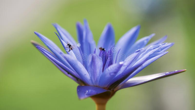 Bij op Purpere lotusbloembloem Macro stock afbeeldingen