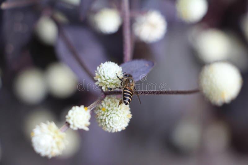 Bij op witte bloem stock afbeeldingen