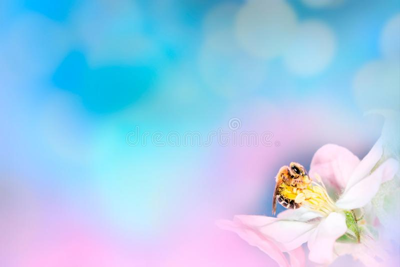 Bij op witte bloem dichte omhooggaande macro terwijl het verzamelen van stuifmeel op roze blauwe vage achtergrond, banner voor we royalty-vrije stock afbeeldingen