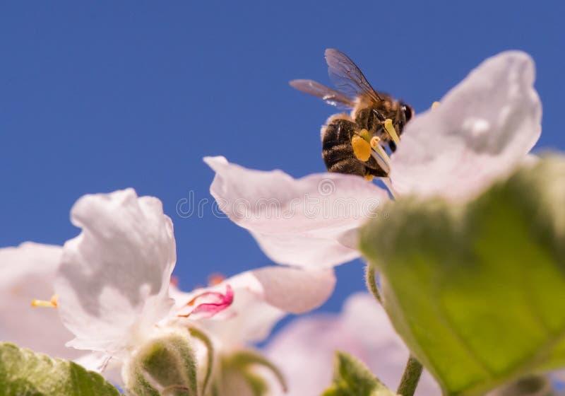 Bij op zachte witte bloemen van appelboom - maluspumila stock fotografie