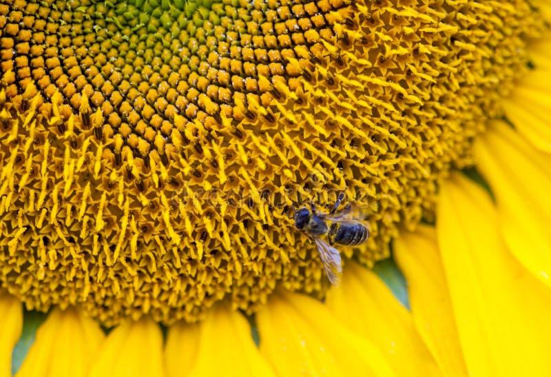 Bij op zonnebloemclose-up royalty-vrije stock afbeelding