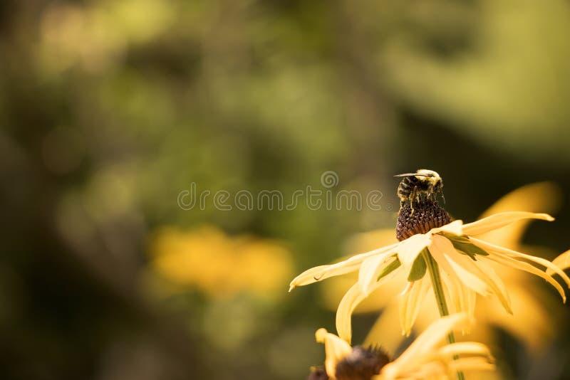 Bij in stuifmeel op een zwarte eyed bloem die van Susan wordt behandeld royalty-vrije stock afbeeldingen