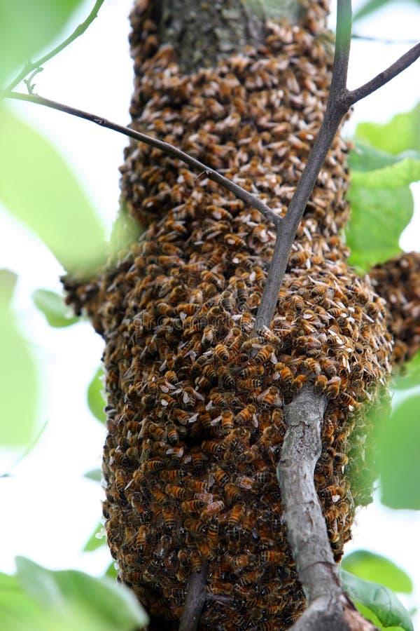 Bijen stock fotografie