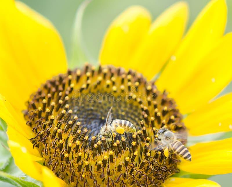 Bijen stock foto