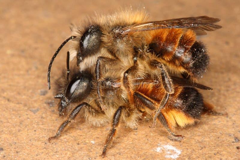Bijen royalty-vrije stock afbeelding