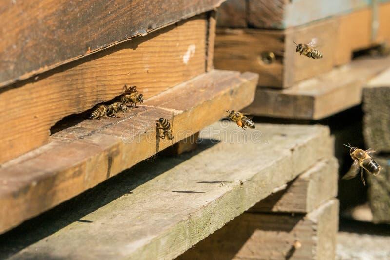 Bijen bij de ingang aan hun bijenkorf stock foto's