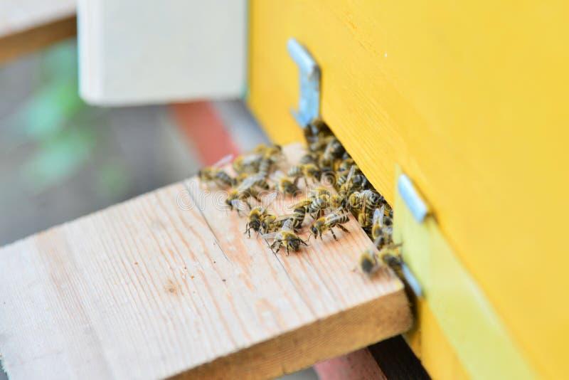 Bijen dichtbij de bijenkorf op de aankomst op het pasikaclose-up stock afbeeldingen