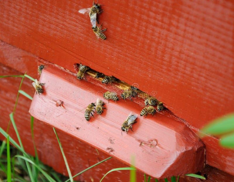 Bijen dichtbij de ingang van bijenkorf stock foto