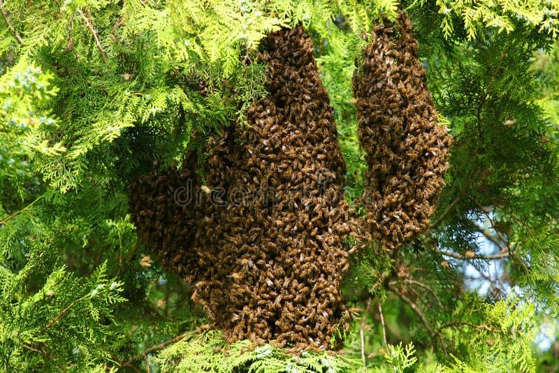 Bijen die op boom zwermen stock fotografie