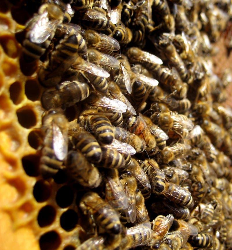 Bijen en honingraat royalty-vrije stock foto
