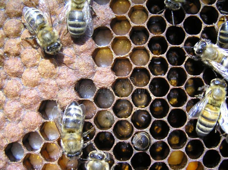 Bijen en hun larven. stock foto's
