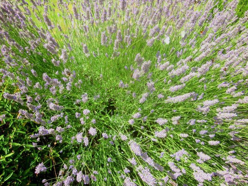 Bijen en lavendel 1 royalty-vrije stock afbeelding