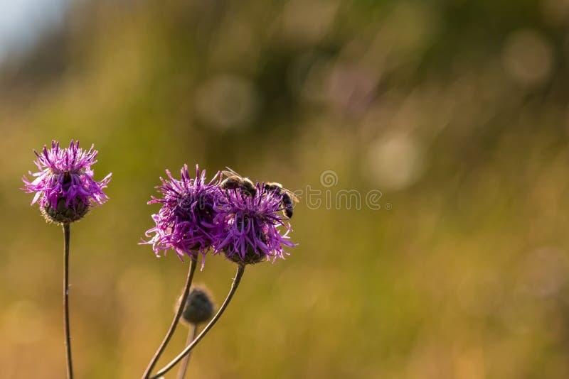 Bijen op bloemen royalty-vrije stock afbeeldingen