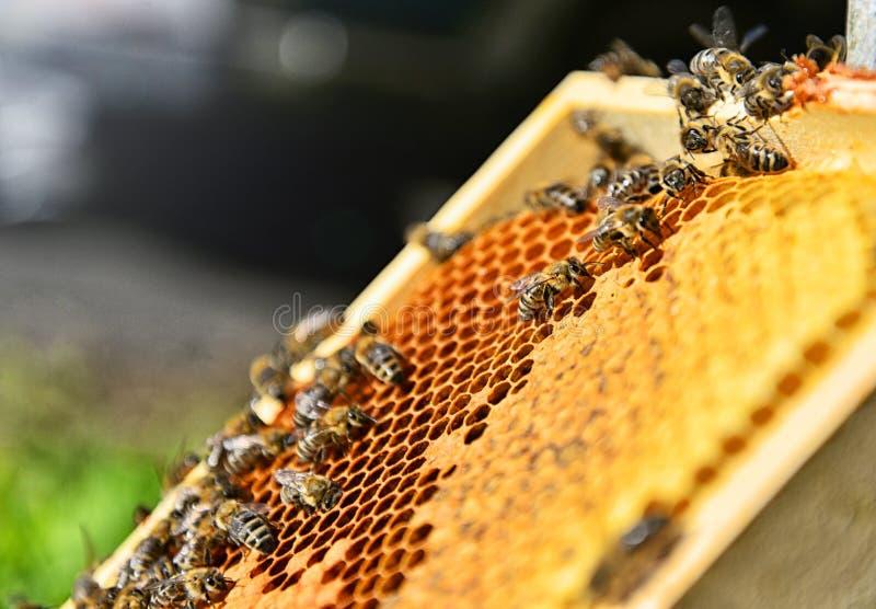 Bijen op de honingraat Imkerijconcept royalty-vrije stock afbeelding