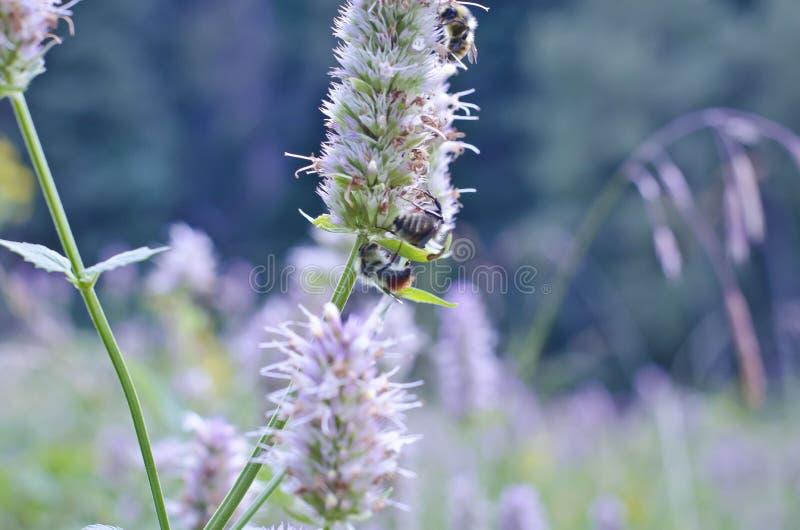 Bijen op een onkruid royalty-vrije stock foto