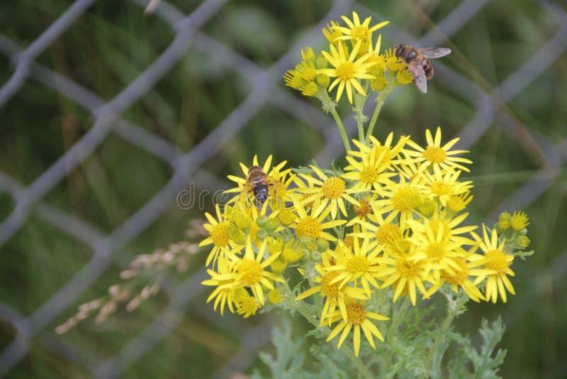 Bijen op gele bloem 3 stock fotografie