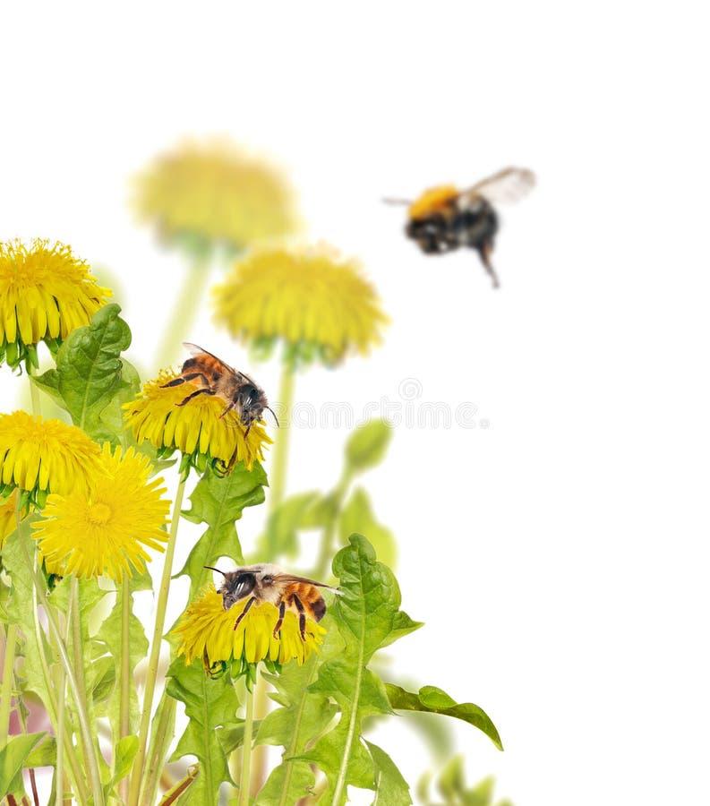 Bijen op gele heldere paardebloemen stock afbeelding