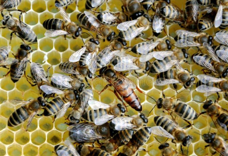 Bijen op honingscellen met de koningin royalty-vrije stock afbeelding