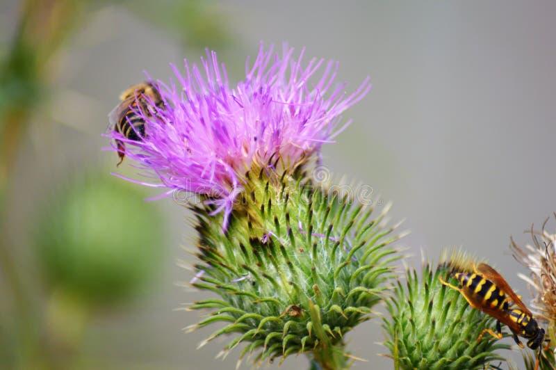 Bijen op Katoenen distel royalty-vrije stock afbeelding
