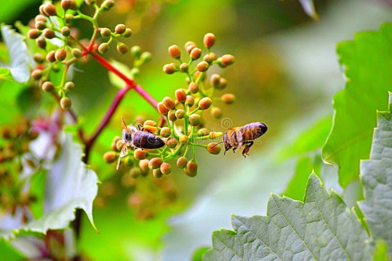 Bijen op ontluikende bloem stock foto