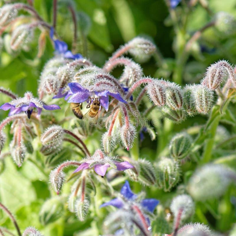 Bijen op Starflower stock afbeeldingen