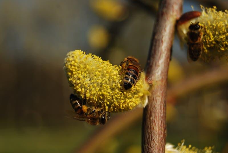 Bijen op Willow Catkins stock foto