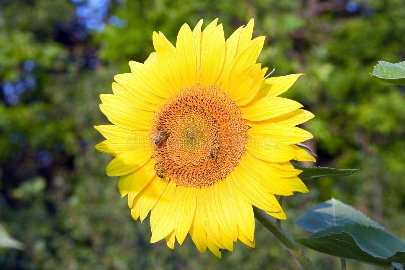 Bijen op zonnebloem stock afbeeldingen