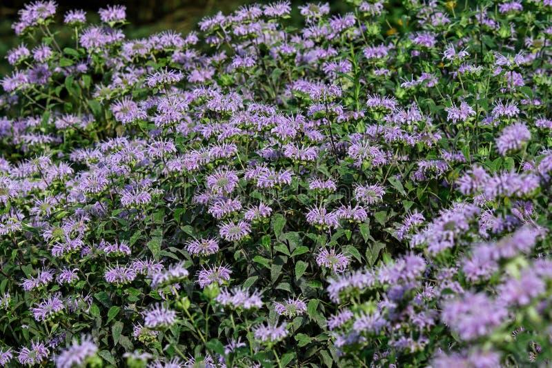 Bijenbalsem in de tuin Genoemd geworden Monarda royalty-vrije stock afbeeldingen