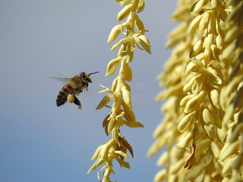 Bijenbestuiving royalty-vrije stock afbeelding