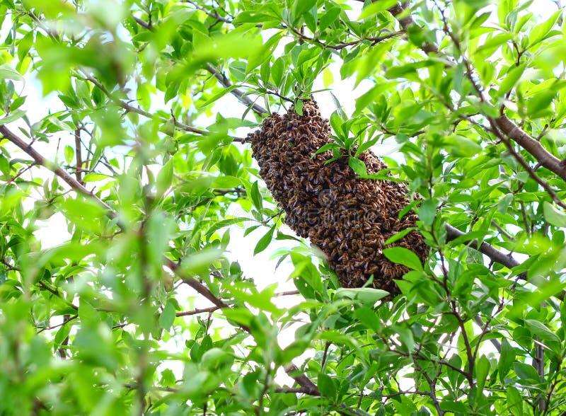 Bijenbijenkorf in een boom royalty-vrije stock afbeelding