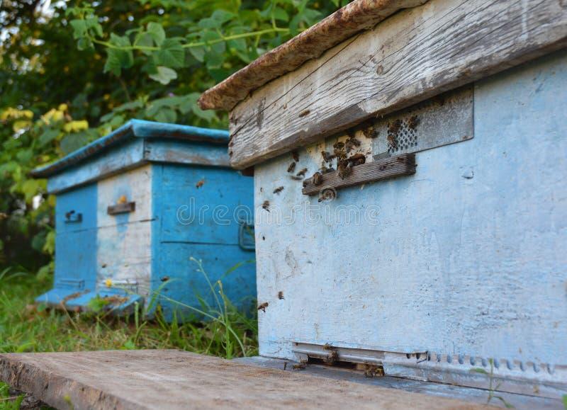 Bijenbijenkorven: Imkerij Zwerm van honingbijen die en rond blauwe bijenkorven in een bijenlandbouwbedrijf komen gaan stock foto