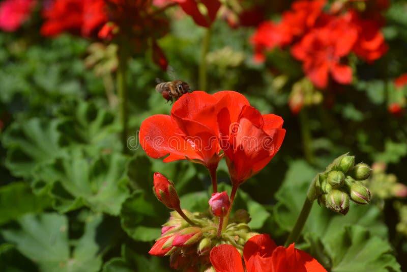 Bijenbloem royalty-vrije stock afbeelding