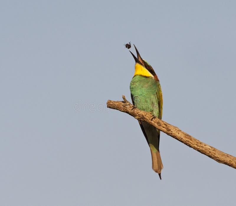 Bijeneter, gruccione, apiaster del Merops fotografie stock libere da diritti