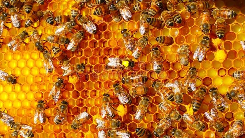 Bijenkoningin stock afbeeldingen