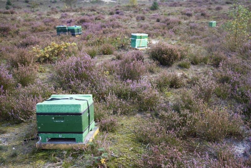 Bijenkorf op de bloeiende dopheide in Holland stock afbeelding