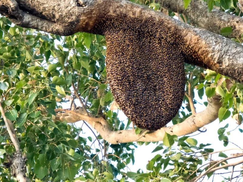 Bijenkorf op peepal boom, Bijenbijenkorf in zijn natuurlijke vorm royalty-vrije stock foto's