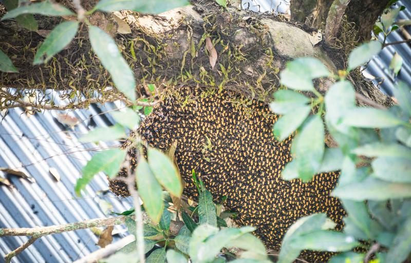 Bijenkorf van wilde Aziatische honingbijen op boom dichtbij huis royalty-vrije stock afbeelding