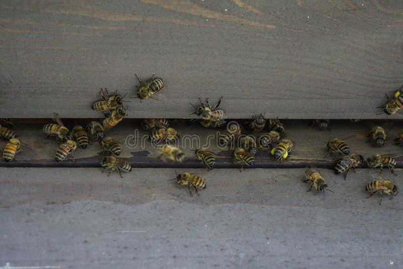 Bijenkorven in de bijenstal Bijenvlieg aan de bijenkorf De bijen beschermen de bijenkorf stock foto's
