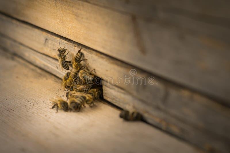 Bijenvlieg aan de bijenkorf imkerij Een zwerm van bijen brengt honingshuis apiary royalty-vrije stock afbeelding