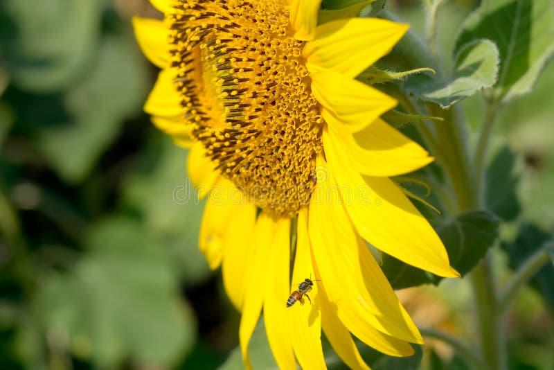 Bijenvlieg bij zonnebloem stock foto's