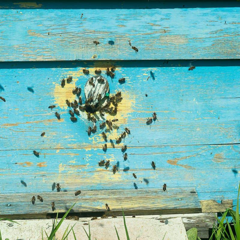 Bijenvlieg in een houten gekleurde bijenkorf Het imkerijwerk aangaande de bijenstal Selectieve nadruk stock foto's