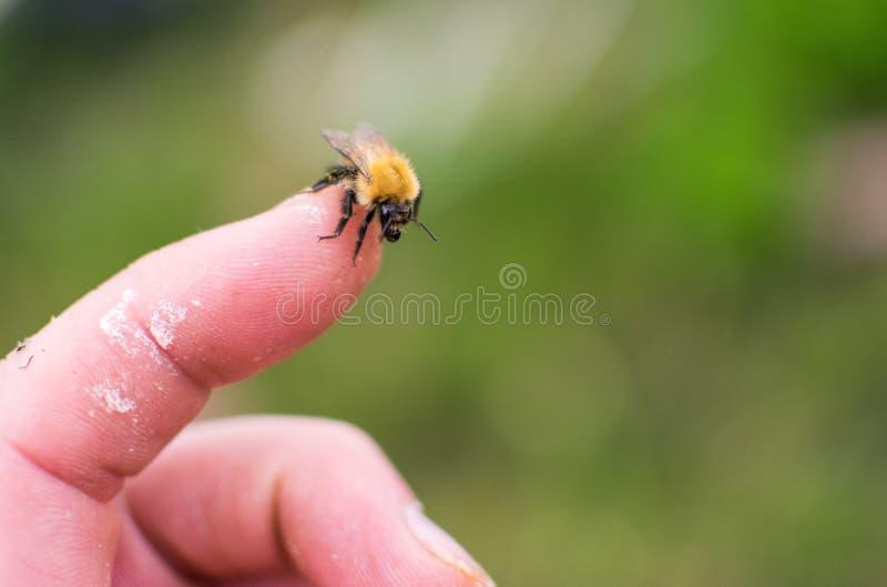 Bijenzitting op menselijke vinger royalty-vrije stock foto's