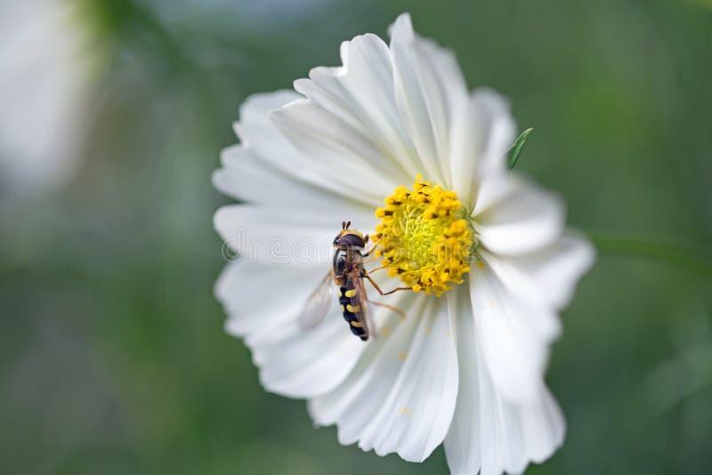 Bijna een kleine hovervlieg rust op de stamen van een witte kosmosbloem in natuurlijk zonlicht stock foto's