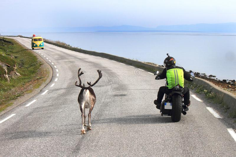 Bike, Reindeer and van sharing the road. Bike overtaking a Reindeer going slowly to Nordkapp, old van coming fron the other side North Cape, Norway, region of stock image