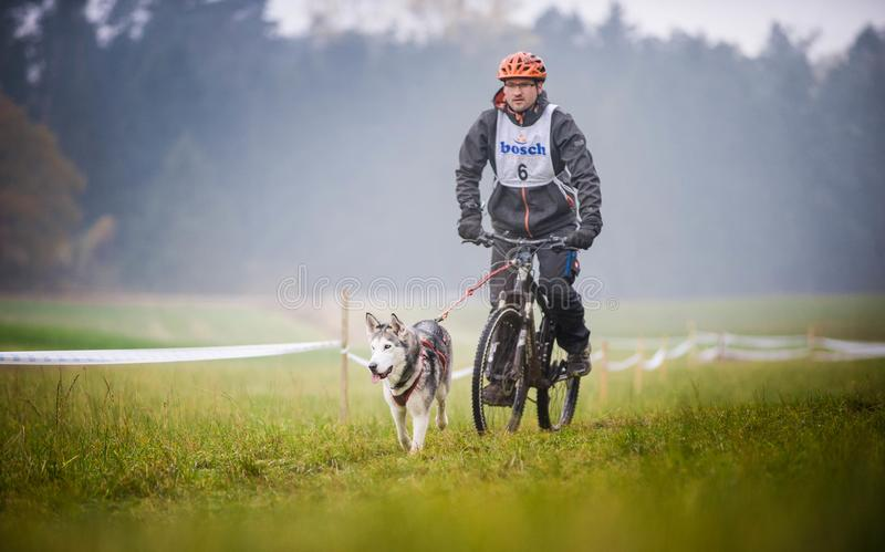 Bikejoring. GERMANY, Oberndorf, Geslau - NOVEMBER 5, 2016: Sled Dog Pulling the Bike with Man, Mushing Off Snow Crosscountry Races in Bad Weather. Noisy Photo royalty free stock images